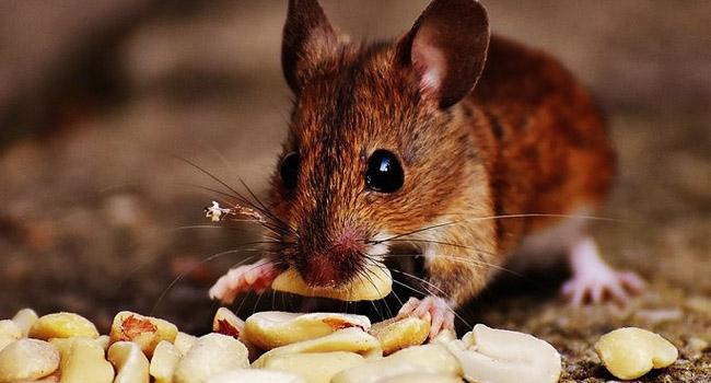 -Cara Mengusir Tikus