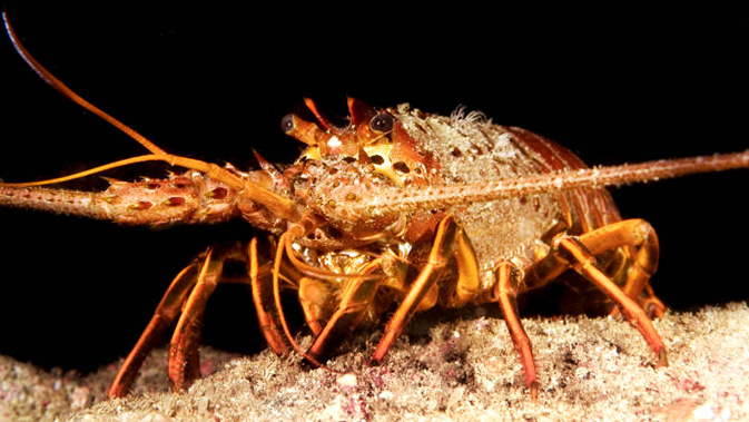 Fakta Unik Lobster